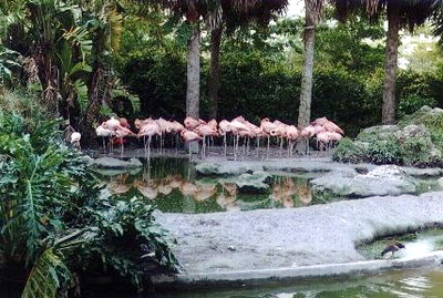 Flamingos at Miami Zoo - Miami, Florida (1999-2000)