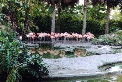 Flamingos at Miami Zoo - Miami, Florida (1999-2000)