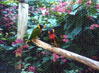Lorikeets at Butterfly World - Coconut Creek, Florida (1999-2000)