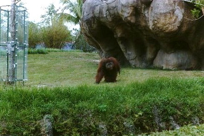 Orangutan at Miami Zoo - Miami, Florida (1999-2000)