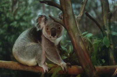Koala Bear at Miami Zoo - Miami, Florida (1999-2000)