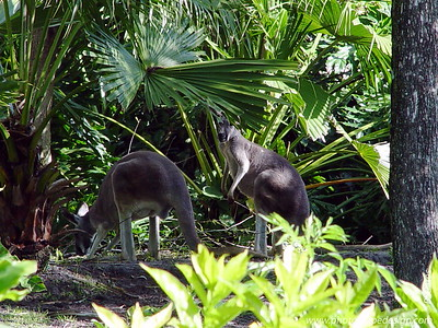 Disney World - Animal Kingdom - Kangaroos (April 11, 2006)
