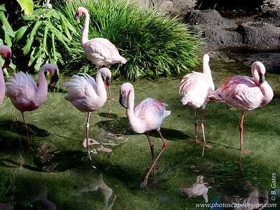 Disney World - Animal Kingdom - Flamingos (April 11, 2006)