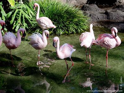 Disney World - Animal Kingdom - Flamingos (April 11, 2006)
