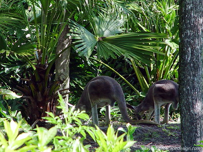 Disney World - Animal Kingdom - Kangaroos (April 11, 2006)