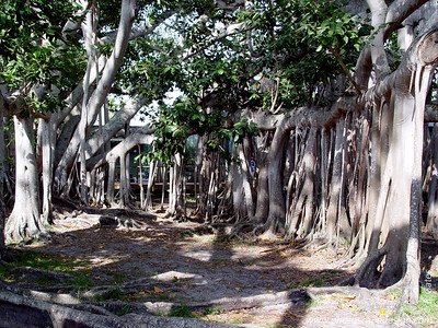 Edison & Ford Winter Estates - Ft. Myers - Largest Banyan Tree in the United States (April 7, 2006)