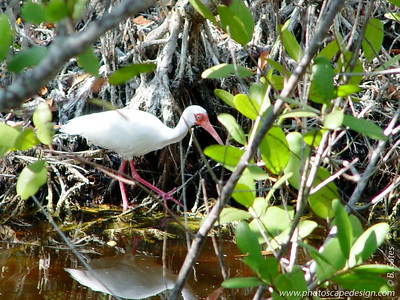 "J.N. ""Ding"" Darling National Wildlife Refuge - White Ibis (April 7, 2006)"