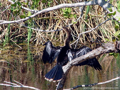"J.N. ""Ding"" Darling National Wildlife Refuge - Anhinga (Adult Female)  (April 7, 2006)"