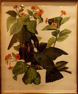 Audubon House and Tropical Gardens - Key West (June 5, 2008)  Audubon's painting of the White-Crowned Pigeon features the Geiger tree (named after Capt. John H. Geiger) found in the front yard of the house.