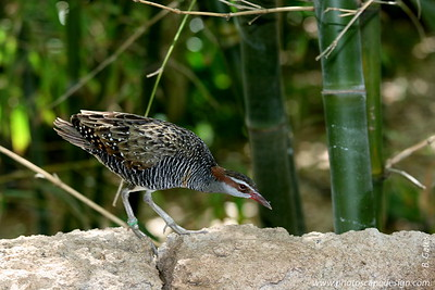 Miami MetroZoo (June 1, 2008)  Wings of Asia Aviary  Banded Rail ( Rallus philippensis) - Also known as Moho-pereru  This is the largest of the swamp rails. Females are generally smaller than males.   These birds are able to fly but prefer to run from danger, with neck held out stretched, parallel to the ground.