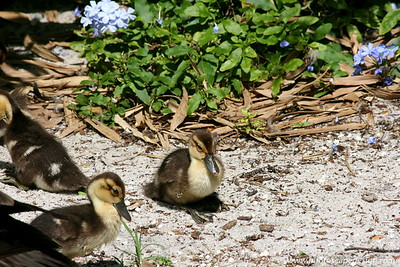 Miami MetroZoo (June 1, 2008)  Wings of Asia Aviary  White-winged Wood Duck (Cairina scutulata) chicks