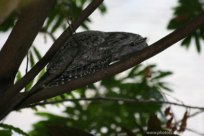 Miami MetroZoo (June 1, 2008)  Wings of Asia Aviary  Tawny Frogmouth (Podargus strigoides)