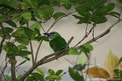 Miami MetroZoo (June 1, 2008)  Wings of Asia Aviary  Black-browed Barbet (Megalaima oorti)