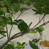 Miami MetroZoo (June 1, 2008)  Wings of Asia Aviary  <b>Black-browed Barbet</b> <i>(Megalaima oorti)</i>