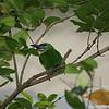 Miami MetroZoo (June 1, 2008)  Wings of Asia Aviary  <b>Black-browed Barbet</b> <i>(Megalaima oorti)</i>