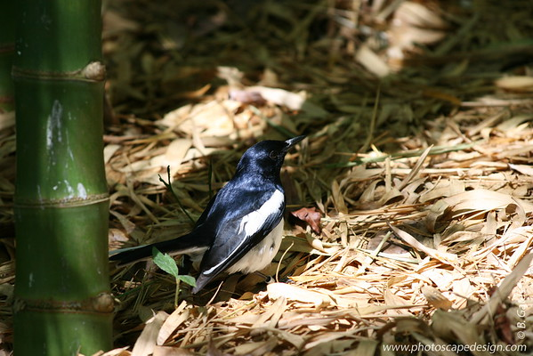 Miami MetroZoo (June 1, 2008)  Wings of Asia Aviary  Oriental Magpie Robin (Copsychus saularis)