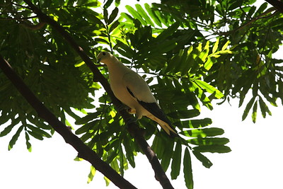 Miami MetroZoo (June 1, 2008)  Wings of Asia Aviary  Pied Imperial Pigeon (Ducula bicolor)