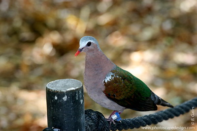 Miami MetroZoo (June 1, 2008)  Wings of Asia Aviary  Green-winged Dove (Chalcophaps indica robinsoni)  aka Emerald Dove, Green-backed Dove, Little Green Pigeon, and many more . . .  The Green-winged Dove is a pigeon which is a widespread resident breeding bird in tropical southern Asia from India and Sri Lanka east to Indonesia and northern and eastern Australia.