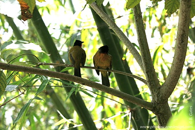 Miami MetroZoo (June 1, 2008)  Wings of Asia Aviary  Ruby-throated Bulbul (Pycnonotus gularis)