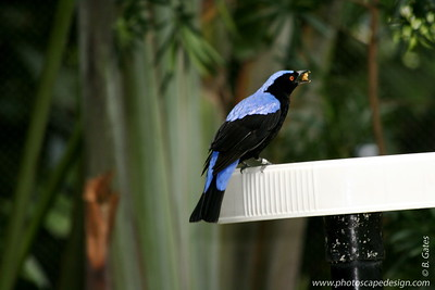 Miami MetroZoo (June 1, 2008)  Wings of Asia Aviary  Fairy Bluebird (Irena puella) [male]  The Fairy Bluebird inhabits the forests of the Himalayas, northern India, Burma and Indochina.    Fairy Bluebirds live in the forest crown and are gregarious fruit-eaters. They live in pairs or small troops and keep to the evergreen lowland forest. They have a very loud contact call and short sharp whistles. While not migratory, they wander locally depending on the seasonal abundance of fruit.