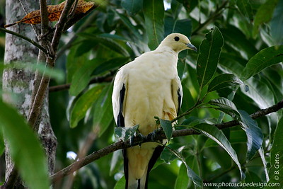 Miami MetroZoo (June 1, 2008)  Wings of Asia Aviary  Pied Imperial Pigeon (Ducula bicolor)  The Pied Imperial Pigeon is a large arboreal pigeon that inhabits the monsoon forests, mangroves and coastal rainforests of tropical northern Australia and its offshore islands.