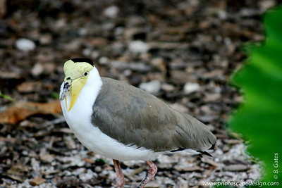 """Miami MetroZoo (June 1, 2008)  Wings of Asia Aviary  Masked Lapwing (Vanellus miles)  Masked Lapwings are large, ground-dwelling birds that are closely related to the waders. They are unmistakable in both appearance and voice, which is a loud """"kekekekekekekek.""""  The Masked Lapwing is common throughout northern, central and eastern Australia. There it inhabits marshes, mudflats, beaches and grasslands. They are also found in Indonesia, New Guinea, New Caledonia and New Zealand. The New Zealand and New Caledonian populations have been formed from birds that have flown there from Australia."""