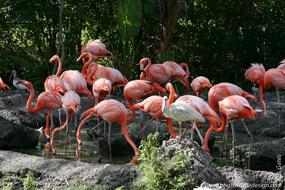 Miami MetroZoo (June 1, 2008)  Caribbean Flamingos (Phoenicopterus ruber ruber) and White Ibis (Eudocimus albus)  Also called the American flamingo, this species is the most brightly colored and largest of all flamingos.  With their bright feathers and strongly hooked bills, flamingos are among the most easily recognized waterbirds. Their pink or reddish color comes from the rich sources of carotenoid pigments (like the pigments of carrots) in the algae and small crustaceans that the birds eat.   The Caribbean flamingos are the brightest, showing their true colors of red, pink, or orange on their legs, bills, and faces.  They are a scarlet pink color overall and have black primary feathers. Their bill is downward bending at its midpoint. They have large bodies and flexible long necks topped with a small head. The flamingo's long legs and feet are bare, and their toes are webbed, which is good for wading. Young birds are mostly grey and do not develop their characteristic pink until after the first year. The sexes are similar in appearance.