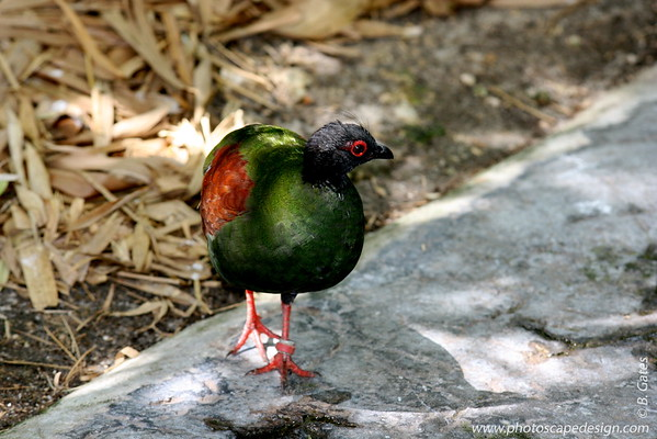 Miami MetroZoo (June 1, 2008)  Wings of Asia Aviary  Crested Wood Partridge (Rollulus roulroul)  [female]  The Crested Wood Partridge is a gamebird in the pheasant family Phasianidae of the order Galliformes, gallinaceous birds.  This small partridge is a resident breeder in lowland rainforests in south Myanmar, south Thailand, Malaysia, Sumatra and Borneo.   The Crested Wood Partridge is a rotund short-tailed bird with the male marginally larger than the female.  Both sexes have a scarlet patch of bare skin around the eye and red legs without a spur or hind toe.  The song is a mournful whistled si-ul.  There is some concern about the effect of habitat destruction on this bird, especially with regard to logging; however, it seems to be somewhat more adaptable than other Southeast Asian pheasants. Due to ongoing habitat lost, the Crested Wood Partridge is evaluated as Near Threatened on the IUCN Red List of Threatened Species.