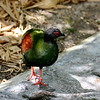 Miami MetroZoo (June 1, 2008)  Wings of Asia Aviary  <b>Crested Wood Partridge</b> <i>(Rollulus roulroul)</i>  [female]  The Crested Wood Partridge is a gamebird in the pheasant family Phasianidae of the order Galliformes, gallinaceous birds.  This small partridge is a resident breeder in lowland rainforests in south Myanmar, south Thailand, Malaysia, Sumatra and Borneo.   The Crested Wood Partridge is a rotund short-tailed bird with the male marginally larger than the female.  Both sexes have a scarlet patch of bare skin around the eye and red legs without a spur or hind toe.  The song is a mournful whistled <i>si-ul</i>.  There is some concern about the effect of habitat destruction on this bird, especially with regard to logging; however, it seems to be somewhat more adaptable than other Southeast Asian pheasants. Due to ongoing habitat lost, the Crested Wood Partridge is evaluated as <i><b>Near Threatened</b></i> on the IUCN Red List of Threatened Species.
