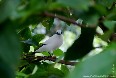 Miami MetroZoo (June 1, 2008)  Wings of Asia Aviary  Bali Myna (also spelled mynah) (Leucopsar rothschildi)  The Bali Myna is the only native bird on Bali. Right now there are only about 13-14 Bali Mynas left in the wild and it is one of the world's most critically endangered animals.