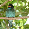 Miami MetroZoo (June 1, 2008)  Wings of Asia Aviary  <b>Dollarbird</b> <i>(Eurystomus orientalis)</i>   Dollarbirds are Australia's only migratory hollow-user. They typically breed in hollows at the very tops of tall gum trees.  The Dollarbird arrives in northern and eastern Australia in September each year to breed. In March or April the birds return to New Guinea and adjacent islands to spend the winter. In Australia, it inhabits open wooded areas, normally with mature, hollow-bearing trees suitable for nesting.