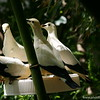 Miami MetroZoo (June 1, 2008)  Wings of Asia Aviary  <b>Pied Imperial Pigeon</b> <i>(Ducula bicolor)</i>