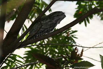 Miami MetroZoo (June 1, 2008)  Wings of Asia Aviary  Tawny Frogmouth (Podargus strigoides)