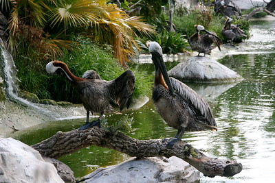 "Miami MetroZoo (June 1, 2008)  Brown Pelican (Pelecanus occidentalis) [breeding plumage; nonbreeding plumage is a pale yellow head and a white neck]  Unique among the world's seven species of pelicans, the Brown Pelican is found along the ocean shores and not on inland lakes. It is the only dark pelican, and also the only one that plunges from the air into the water to catch its food.  The sexes look alike with the male being only slightly larger.    Shooting for feathers and to ""protect"" fishing caused declines in pelican populations in the first half of the 20th century. Pesticide poisoning, especially by DDT, caused severe declines across the range in the late 1950's and the extirpation from Louisiana (""the pelican state""). It was listed as Endangered throughout the range in 1970. The ban on DDT led to a population recovery, and it was removed from the Endangered Species list in Atlantic Coast states in 1985. Breeding numbers in most states are stable or increasing, and the total population in the United States now exceeds historical levels."