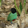 Miami MetroZoo (June 1, 2008)  Wings of Asia Aviary  <b>Hooded Pitta</b> <i>(Pitta sordida)</i>  Hooded Pittas are found throughout Southeast Asia, from the foothills of the Himalayas to Indonesia, the Philippines, and New Guinea.