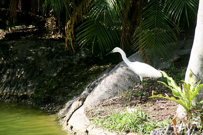 Miami MetroZoo (June 1, 2008)  Snowy Egret (Egretta thula)  A small, active white heron, the Snowy Egret is found in small ponds as well as along the ocean shore. Its black legs and yellow feet quickly identify it.