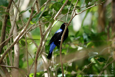 Miami MetroZoo (June 1, 2008)  Wings of Asia Aviary  Fairy Bluebird (Irena puella) [male]