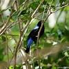 Miami MetroZoo (June 1, 2008)  Wings of Asia Aviary  <b>Fairy Bluebird</b> <i>(Irena puella)</i> [male]