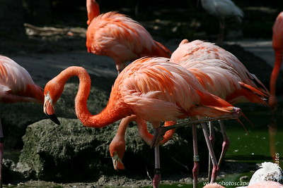 Miami MetroZoo (June 1, 2008)  Caribbean Flamingos (Phoenicopterus ruber ruber)