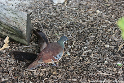 Miami MetroZoo (June 1, 2008)  Wings of Asia Aviary  Mindanao Bleeding-heart Dove (Gallicolumba criniger)  The name 'bleeding-heart' comes from the patch of red on the breast of these birds, otherwise, they are grey above and paler buff below.  Bleeding-heart doves live only in the Philippines.   The scientific name gives us a good idea: Galli means chicken and columba means dove. This is a dove that spends much of its time as a chicken does, on the ground among the dead leaves, looking for food. Generally they live in dense forest.  Like other doves and pigeons, these birds stay in touch with other flock members by a series of coos. Males also woo females using a series of coos.  The Mindanao Bleeding-heart Dove is classified as Vulnerable (VU) on the IUCN Red List 2007.