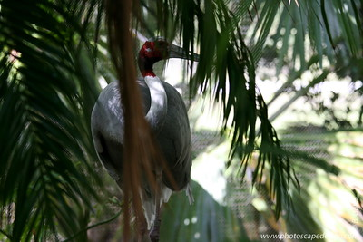 Miami MetroZoo (June 1, 2008)  Wings of Asia Aviary  Sarus Crane (Grus antigone)  Saurus cranes mate for life. The bond is so strong, these birds are a symbol of marital fidelity in many Asian cultures. As with many other crane species, the saurus crane performs a courtship dance mainly during the breeding season. They bow and curtsy, opening up their wings and throwing back their head as they utter their trumpeting call.   Found in the wetlands of northern India and Indo China, these birds require large, open, well-watered plains or marshes to breed and survive.