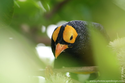 Miami MetroZoo (June 1, 2008) [D]  Wings of Asia Aviary  Yellow-faced Myna (Mino dumontii)
