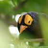 Miami MetroZoo (June 1, 2008) [D]  Wings of Asia Aviary  <b>Yellow-faced Myna</b> <i>(Mino dumontii)</i>