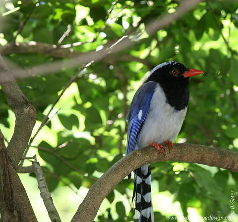 Miami MetroZoo (June 1, 2008)  Wings of Asia Aviary  Red-billed Blue Magpie (Urocissa erythrorhyncha)  The head, neck and breast are black with a bluish spotting on the crown. The shoulders and rump are a duller blue and the underparts are a greyish cream. The long tail is a brighter blue (as are the wing primaries) with a broad white tip. The bill is a bright orange-red as are the legs and feet and a ring around the eye. This red can vary across its range to almost yellow in some birds.  The Red-billed Blue Magpie occurs in a broad swathe from the western Himalayas, eastwards into China and Vietnam in evergreen forest and scrub in predominantly hilly or mountainous country.  Food is sought both in trees and on the ground. It takes the usual wide range of food, such as invertebrates, other small animals, and fruit and some seeds. It robs nests of eggs and also chicks.  The Red-billed Blue Magpie nests in trees and large shrubs in a relatively shallow nest. There are usually three to five eggs laid.  Vocal mimicry is very apparent in this species and its calls are very varied, but the most usual are a grating rattle and a high pitched whistle a little like a flute.