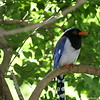 Miami MetroZoo (June 1, 2008)  Wings of Asia Aviary  <b>Red-billed Blue Magpie</b> <i>(Urocissa erythrorhyncha)</i>  The head, neck and breast are black with a bluish spotting on the crown. The shoulders and rump are a duller blue and the underparts are a greyish cream. The long tail is a brighter blue (as are the wing primaries) with a broad white tip. The bill is a bright orange-red as are the legs and feet and a ring around the eye. This red can vary across its range to almost yellow in some birds.  The Red-billed Blue Magpie occurs in a broad swathe from the western Himalayas, eastwards into China and Vietnam in evergreen forest and scrub in predominantly hilly or mountainous country.  Food is sought both in trees and on the ground. It takes the usual wide range of food, such as invertebrates, other small animals, and fruit and some seeds. It robs nests of eggs and also chicks.  The Red-billed Blue Magpie nests in trees and large shrubs in a relatively shallow nest. There are usually three to five eggs laid.  Vocal mimicry is very apparent in this species and its calls are very varied, but the most usual are a grating rattle and a high pitched whistle a little like a flute.