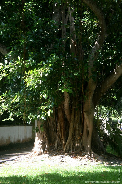 Old Cutler Road - Coral Gables (June 2, 2008)  Banyan (Ficus benghalensis)
