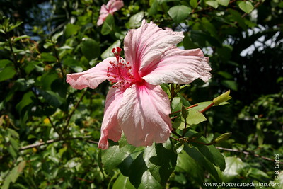 The Barnacle Historic State Park - Coconut Grove (June 2, 2008)  Hibiscus