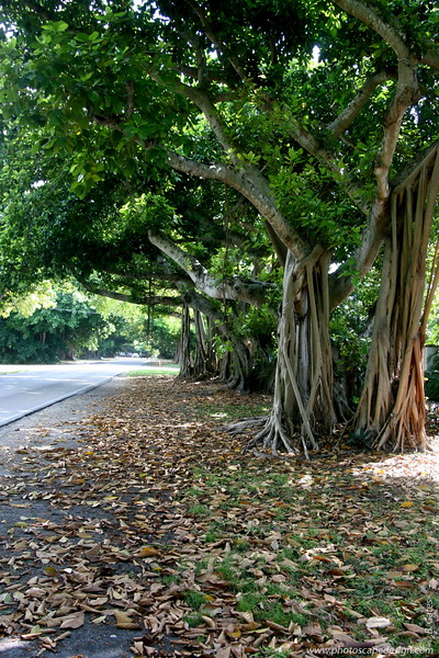 Old Cutler Road - Coral Gables (June 2, 2008)  Banyan (Ficus benghalensis)  Also known as Bengal Fig, Indian fig, East Indian Fig, Indian Banyan or simply Banyan, it is a species endemic to Bangladesh, India and Sri Lanka.   Older banyan trees are characterized by their aerial prop roots which grow into thick woody trunks which, with age, can become indistinguishable from the main trunk. Old trees can spread out laterally using these prop roots to cover a wide area.