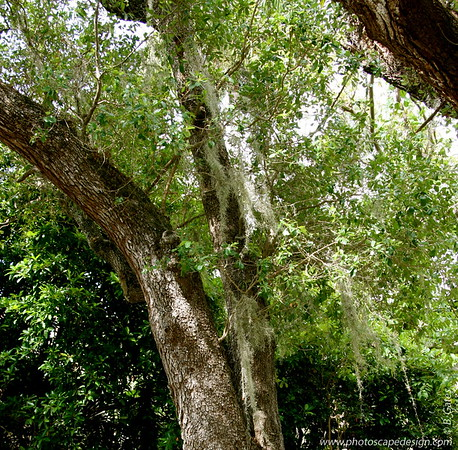 The Barnacle Historic State Park - Coconut Grove (June 2, 2008)  Live Oak (Quercus virginiana) draped with Spanish Moss (Tillandsia usneoides), an air plant which hangs in weeping garlands, giving the tree a striking appearance.