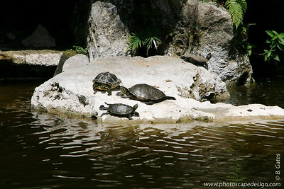 The Morikami Japanese Gardens - Delray Beach (May 31, 2008) [D]  Kame Shima, Turtle Island